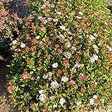 Viburnum tinus 'Eve Price' - Laurier tin rose - Viorne persistante