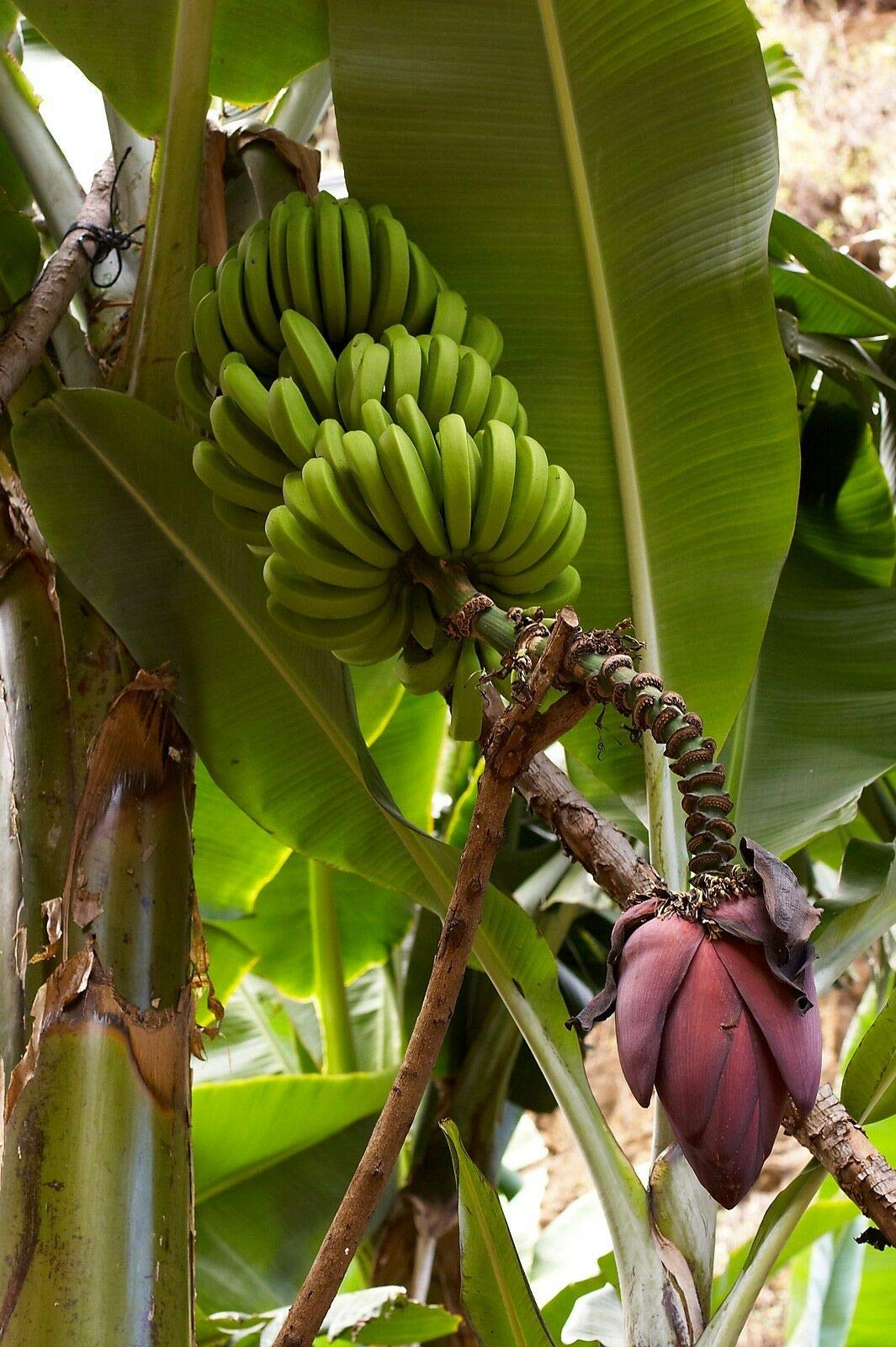 Shoopy-Star-Honig-und-Sahne-Sweet-Corn-Seeds-28-Gramm