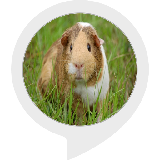 guinea-pig-facts