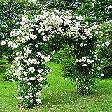 "Azalea Garden Rare 1 Rose Plant ROSE "" CLIMBING WHITE ""fragrant rare New Season Rose Live Plant"