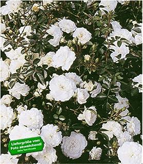 Bodendeckerrose mit kleinen Blüten Rose The Fairy zauberhaft Kleinstrauchrose