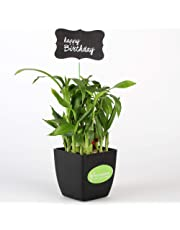 Ferns n Petals 2 Layer Bamboo Plant In Black Plastic Pot with Happy Birthday Tag