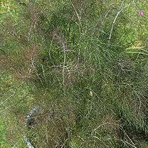 100 Samen Bronze-Fenchel – Foeniculum vulgare purpureum, vielseitig verwendbar