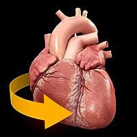 Herz - 3D Anatomie