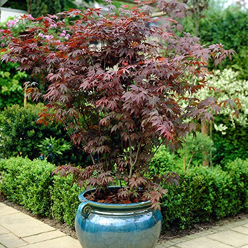 japanese-maple-shrub-collection-acer-palmatum-3-varieties-in-105cm-pots