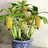 Ncient 10/20/30/50/100 Semillas de Arbol de Plátano Bananas Enano Semillas Frutas Flores Plantas Bonsai para Jardín Balcon In