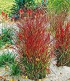 BALDUR-Garten Winterhart Ziergras
