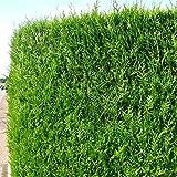 Thuja plicata 'Atrovirens' - Thuya de Californie 30/40 cm