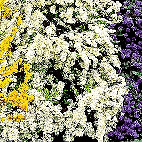 Spirea arguta Bridal Wreath – 1 shrub