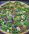 BALDUR-Garten Winterhart Steingarten-Stauden-Mix 10 Pflanzen von Baldur-Garten bei Du und dein Garten