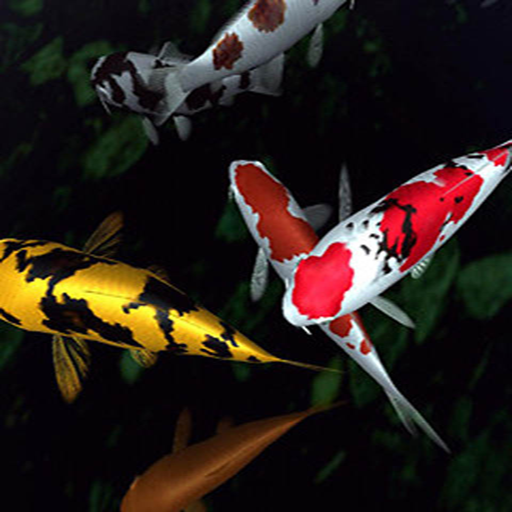 Koi Fish Touch Live Wallpaper - Koi-live