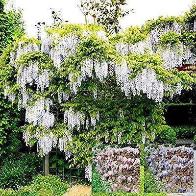 Glyzinie Kollektion blau/weiß/rosa - 3 sträucher von Meingartenshop auf Du und dein Garten