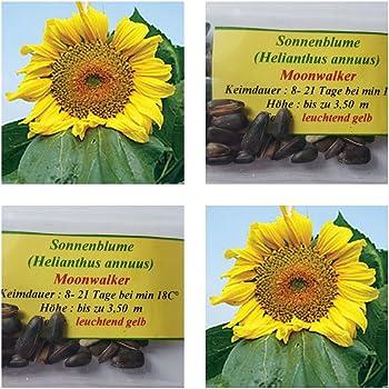 Riesensonnenblumen- 60 Samen der Sorte Moonwalker-Höhe : bis zu 3,50 m !!!