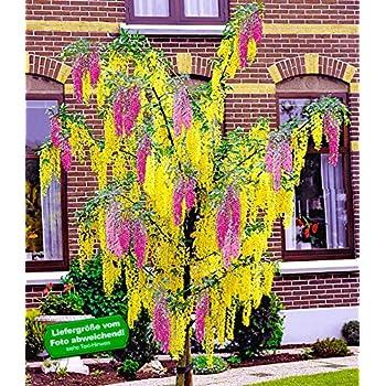 baldur garten buddleia sommerflieder 39 flower power. Black Bedroom Furniture Sets. Home Design Ideas