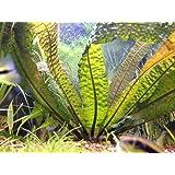 Aponogeton Boivinianus - Plantes d'aquarium vivantes