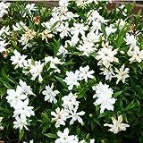 GARDENIA JASMINOIDES fragantes flores de jazmín vainilla olor más de 100 semillas