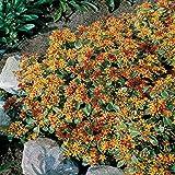 Fetthenne (kamtschaticum) Stonecrop - 3 pflanzen