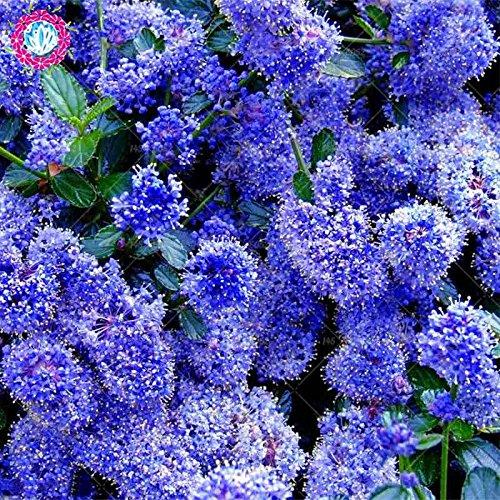 100pcs rares bleu et blanc japonais Graines Lilas (très odorants) de graines de fleurs de clou de girofle pour la décoration maison et jardin plantation
