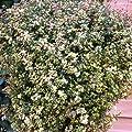 lichtnelke - Polsterthymian ( Thymus pulegiodes FOXLEY ) Duftrasen von Lichtnelke Pflanzenversand - Du und dein Garten
