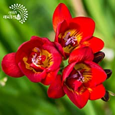 Kriti Kalash Freesia Flower Bulbs,Variety Red Produces Fragrant Scented Flowers 21 Bulbs Height approx. 30 cm Flower Amazing Beautiful Flower Winter Season