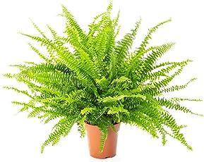 AIRY Schwertfarn Zimmerpflanze - Nephrolepis exaltata - Natürlicher Luftfilter für spürbar gesünderes Raumklima - Passend zum innovativen AIRY Pflanzentopf