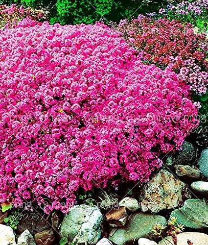 100 / Rock CressBright Red Rock Cress Aubrieta Sementi di fiori / Evergreen Perenne / Deer Resistente