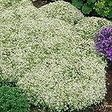 Kölle Polster-Thymian Albus - Thymus serphyllum Albus - weiß blühende, duftende Steingartenstaude im 9 cm Topf - frisch aus der Gärtnerei - Pflanzen Gartenstaude