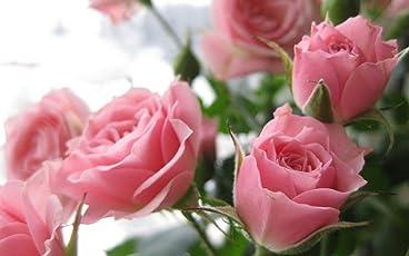 M-Tech Gardens Healthy Rare Live Climbing Rose Plant (Pink) - Set of 1