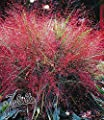 BALDUR-Garten Ziergras-Kollektion, 6 Pflanzen 3 Pflanzen Rotes Liebesgras und 3 Pflanzen Federgras (Stipa) von Baldur-Garten bei Du und dein Garten