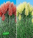 BALDUR-Garten Pampasgras Sortiment, 2 Pflanzen Cortaderia selloana Set bestehend aus je 1 Pflanze rosa und 1 Pflanze weiß blühend Ziergräser