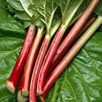 Rhubarb 'Sanvitos Early' Rheum x hybridum Hardy Perennial Vegetable Fruit Garden Plants Bright Red Stalks, Balanced Flavour, Great for Cooking, 1 x 9cm Pots by Thompson and Morgan