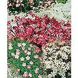 Moos - Steinbrech - Saxifraga 150 Samen - MIX Farbe