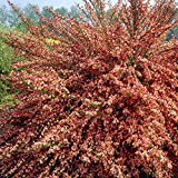 Ginster Cytisus Frisia - 1 strauch