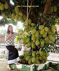 Vamsha Nature Care Live Jack Fruit Tree Rare - Tropical 1 Healthy Plant - ' Dwarf Jackfruit ' Early Fruit Bearing Variety Bud Plant