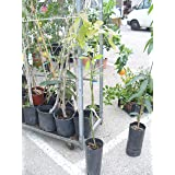 Árbol de aguacate - planta - Maceta tubo - Altura aprox. 1,20m. - Planta viva -