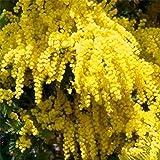 TOYHEART 100 Piezas De Semillas De Flores De Primera Calidad, Semillas De Mimosa Pudica, Alta Tasa De Germinación Natural, Se