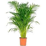 Dypsis Lutescens Grande Palma Areca 90cm Planta de Interior