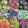 Soteer Garten- 100 Korn Coleus scutellariodes Samen 'Palisandra' Buntnessel Harfenstrauch Dancers mix Bonsai Blume Blatt Pflanzen mehrjaehrig von Soteer auf Du und dein Garten