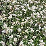 3x Antennaria dioica