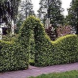 Dominik Blumen und Pflanzen, Hainbuchen-Hecke, Carpinus betulus, 20 Pflanzen, ca. 50 cm hoch, für 4-6 Meter Hecke, winterhart, plus 1 Paar Handschuhe gratis