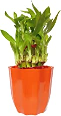 RGDECOR Lucky/Decorative/Feng Shui Green Two Layer Bamboo Plant