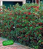 BALDUR-Garten Ilex-Hecke 'Heckenfee®'