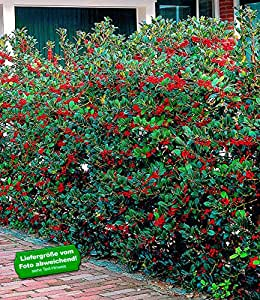baldur garten ilex hecke 39 heckenfee 39 5 pflanzen ilex meserveae garten. Black Bedroom Furniture Sets. Home Design Ideas