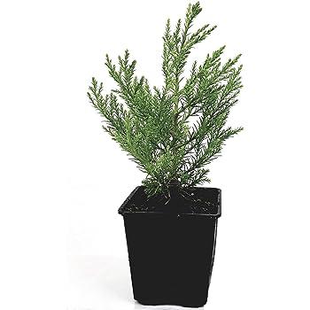 Mammutbaum Metasequoia glyptostroboides Höhe: 130-140 cm Dünger