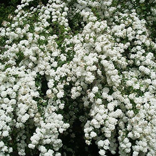 Dominik Blumen und Pflanzen, Weiße Spierstrauch-Hecke, 4 Pflanzen, reicht für 2 Meter Hecke, 30 - 40 cm hoch, 2 Liter Container, winterhart, Blütenhecke, plus 1 Paar Handschuhe gratis