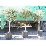 Árbol de Olivo, tronco gordo (Olea europaea) aprox. 140 cm - 160 cm,