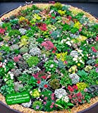 BALDUR-GartenSteingarten-Stauden-Mix 10 Pflanzen...