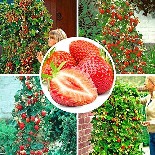 qbisolo 100 pcs semi di fragola rampicante fragola semi di piante da frutto giardino domestico