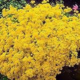 Felsensteinkraut Citrinum - 3 pflanzen