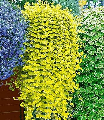 """BALDUR-Garten Winterharter Bodendecker Lysimachia """"Aurea"""" Goldgelbes Pfennigkraut, 3 Pflanzen von Baldur-Garten bei Du und dein Garten"""